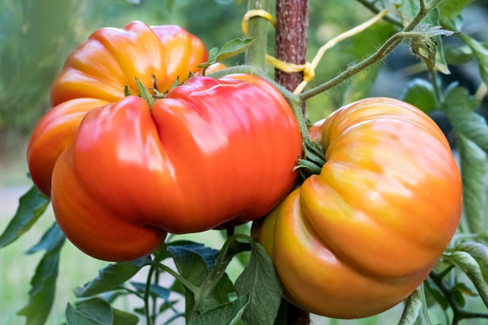 Plantenfiche-Lycopersicon-esculentum-l-var-coeur-de-boeuf-Tomaat-ossenhart-Coeur-de-boeuf-