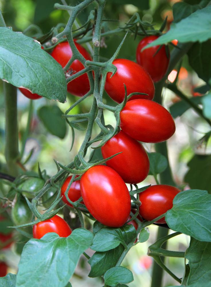 Plantenfiche-Lycopersicon-esculentum-l-var-roma-Tomaat-roma-