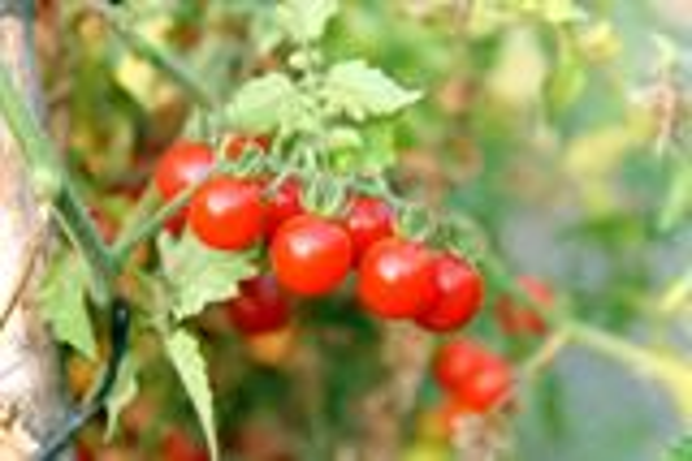 Plantenfiche-Lycopersicon-esculentum-l-var-supersweet-F1-Tomaat-cherry-