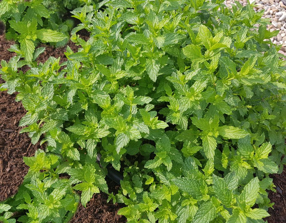 Plantenfiche-Mentha-spicata-Maroccan-Marokkaanse-munt-