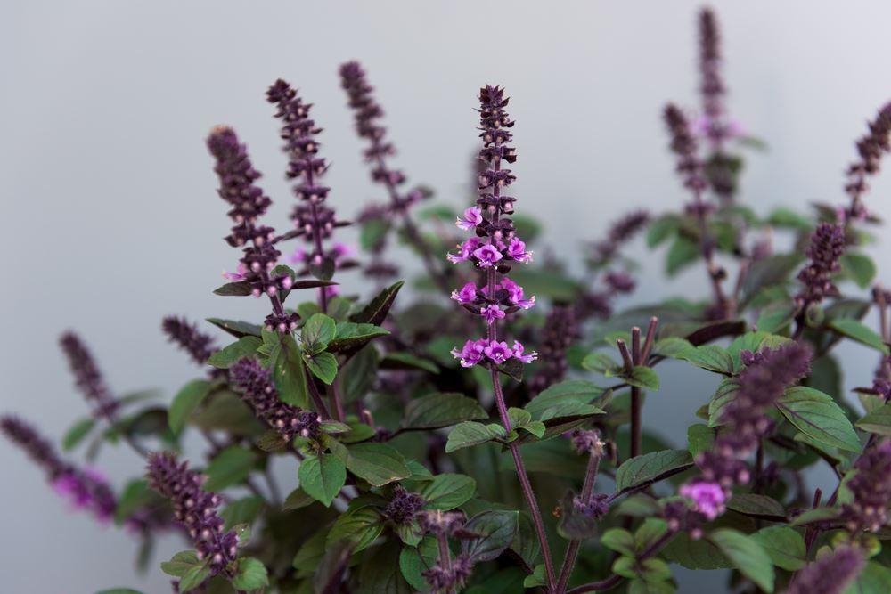 Plantenfiche-Ocimum-basilicum-Magic-Mountain-Roodbladige-basilicum-
