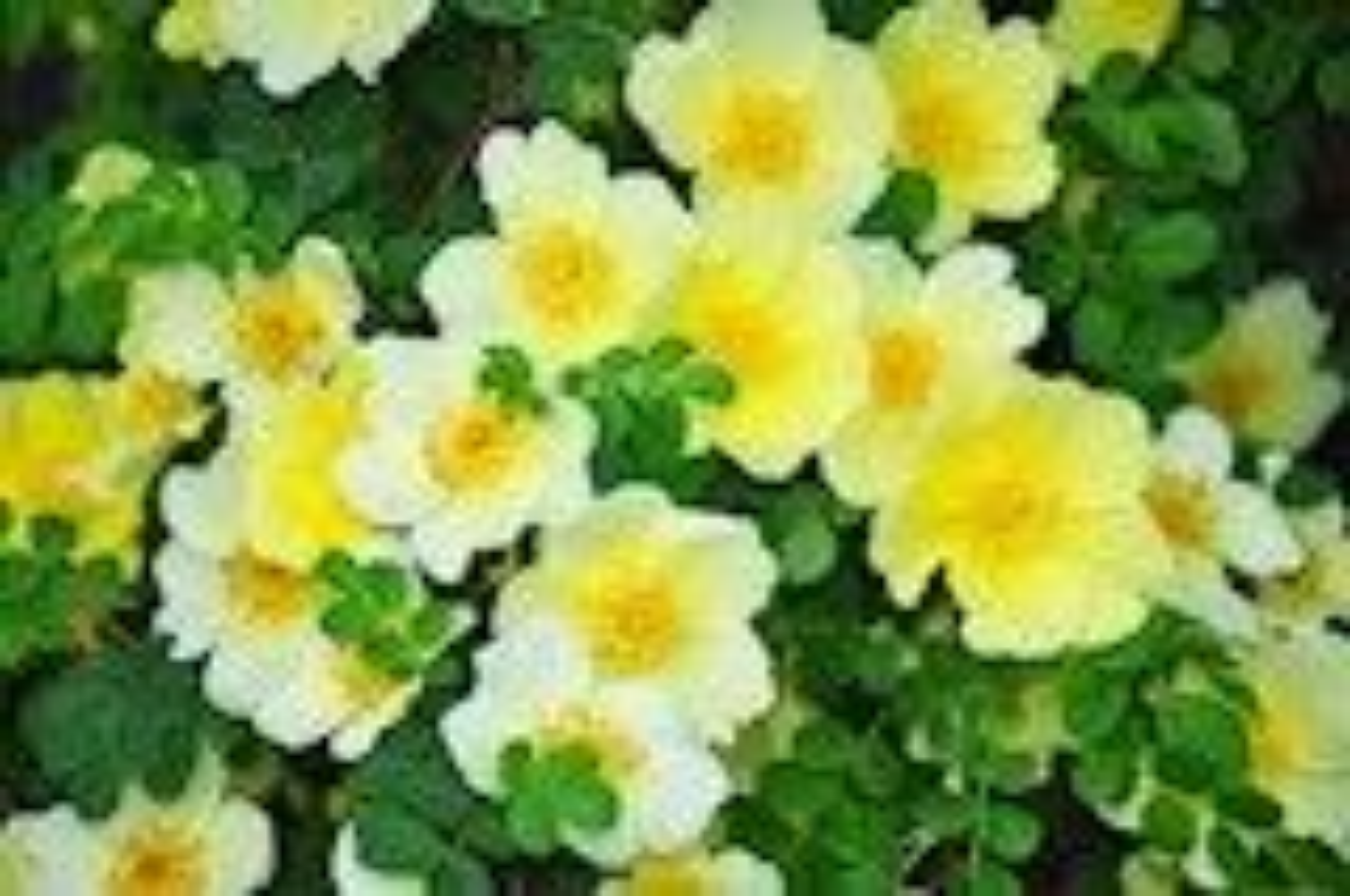 Rosa hugonis - Botanische roos