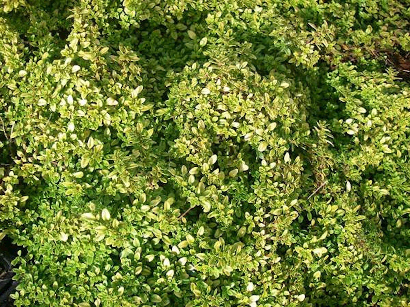 Thymus x citriodorus 'Bertram Anderson' - Citroentijm