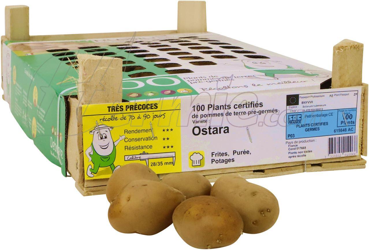 Pootaardappel Ostara kistje 100 stuks - 28/35 (Frankrijk)