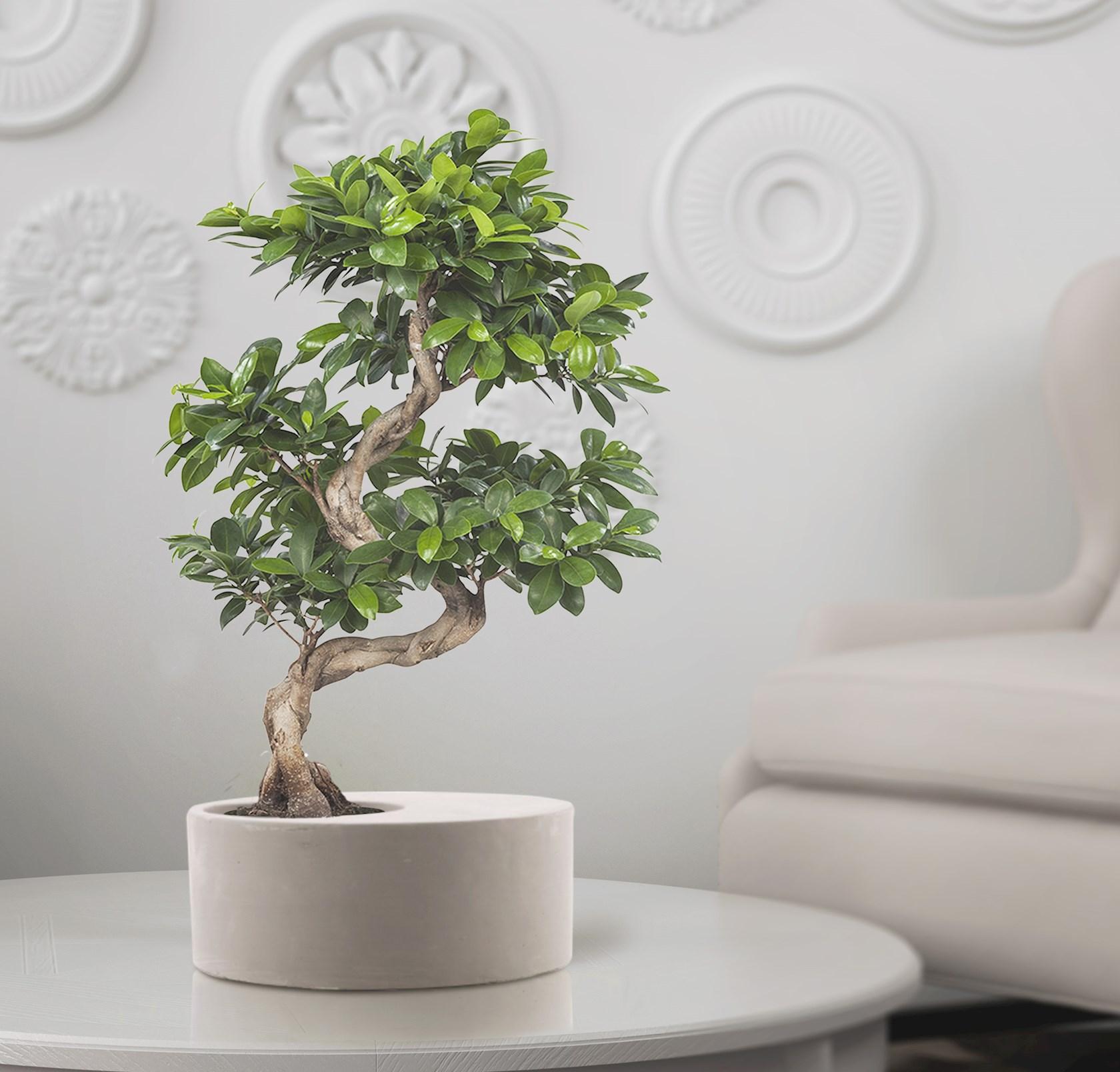 Rubberboom - Ficus Gin Seng Bonsai 70cm hoog