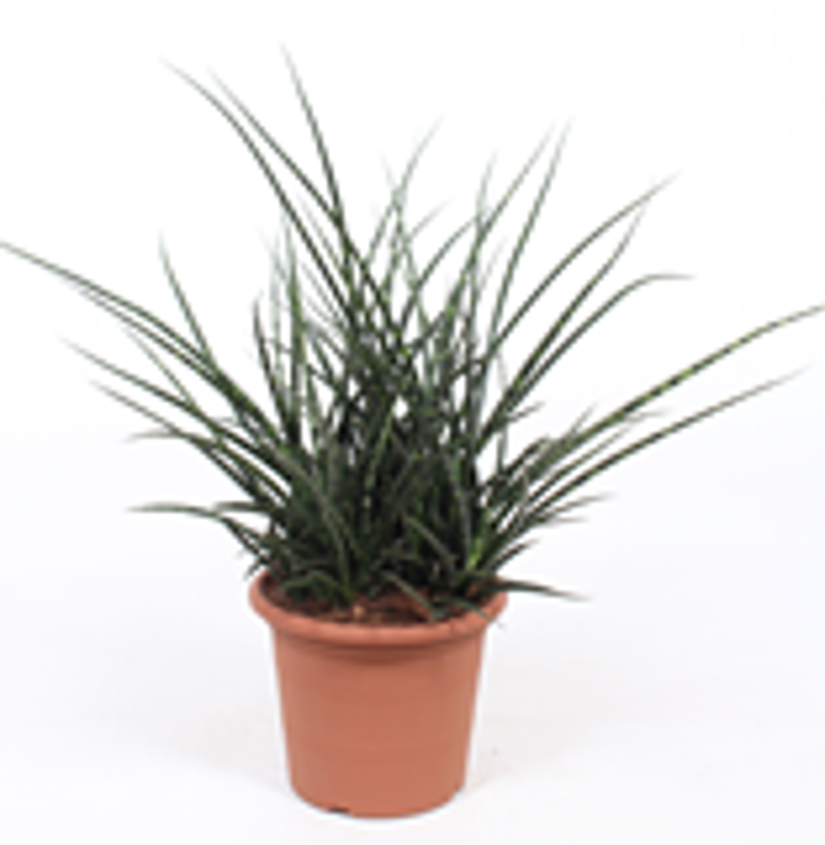 Sanseveria Fernwood Punk 60cm hoog (vrouwentongen)