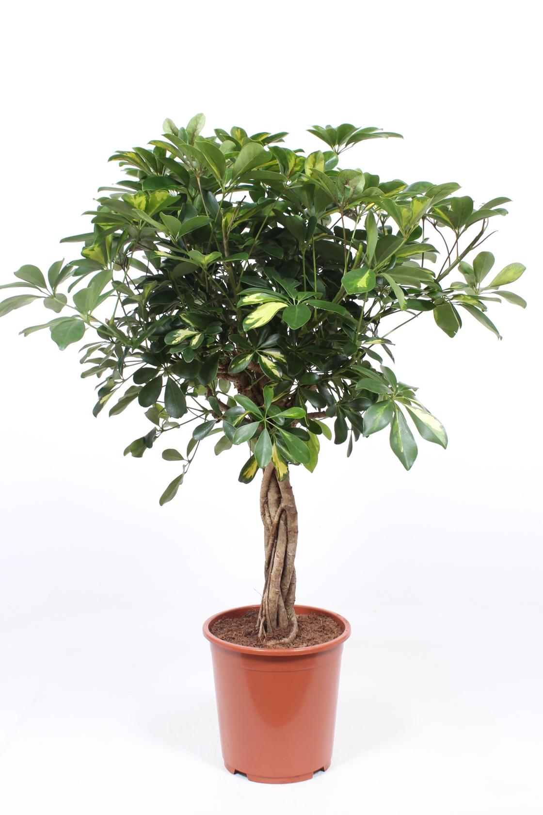 Vingerboom - Schefflera Arboricola gold capella 110cm hoog