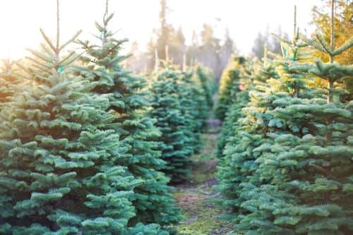 hermie echte levende kerstboom veld kweker denemarken webshop online bestellen